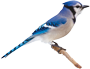 Blue jay image. A bird may serve as a spirit helper in a spiritual journey.