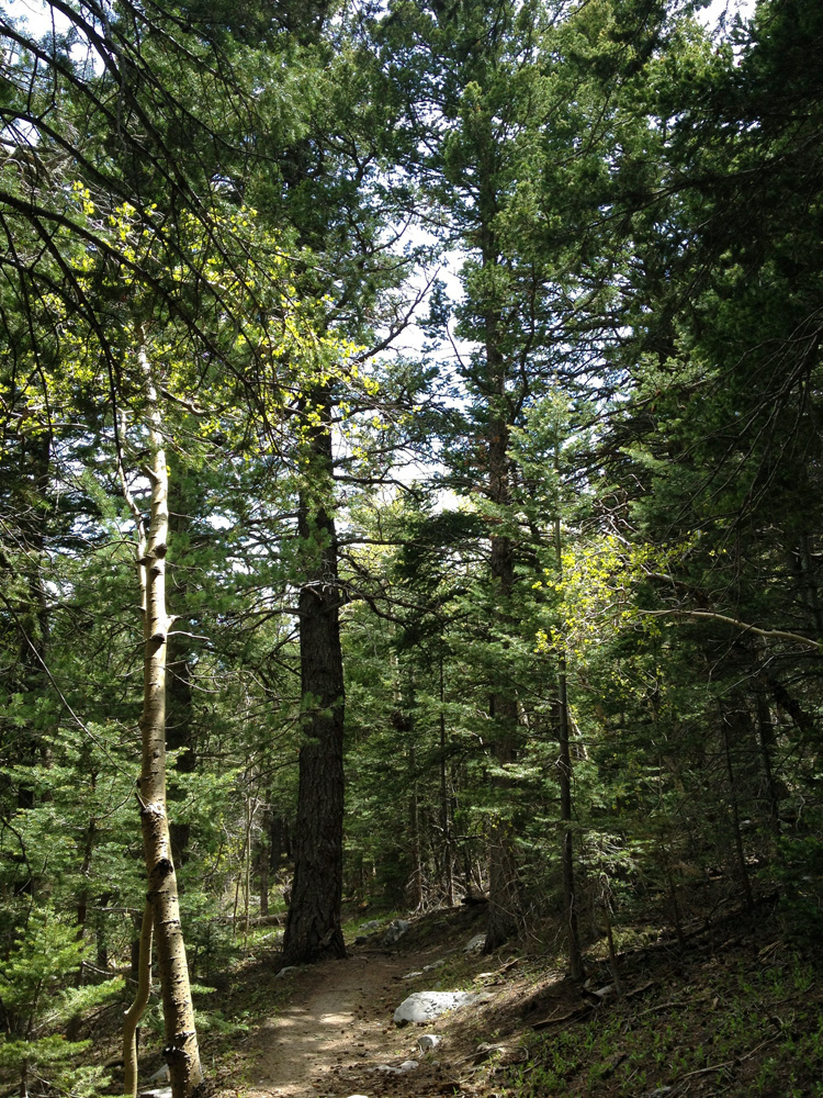 Dirt path shaded by tall spruse and fir trees