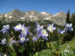 Lavender and white columbines blooming in bright sun against a far horizon of Rocky Mountain peaks