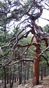 Enormous, gnarly ponderosa pine near Boulder, Colorado