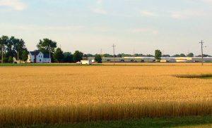 Wheat field near harvest in Ohio