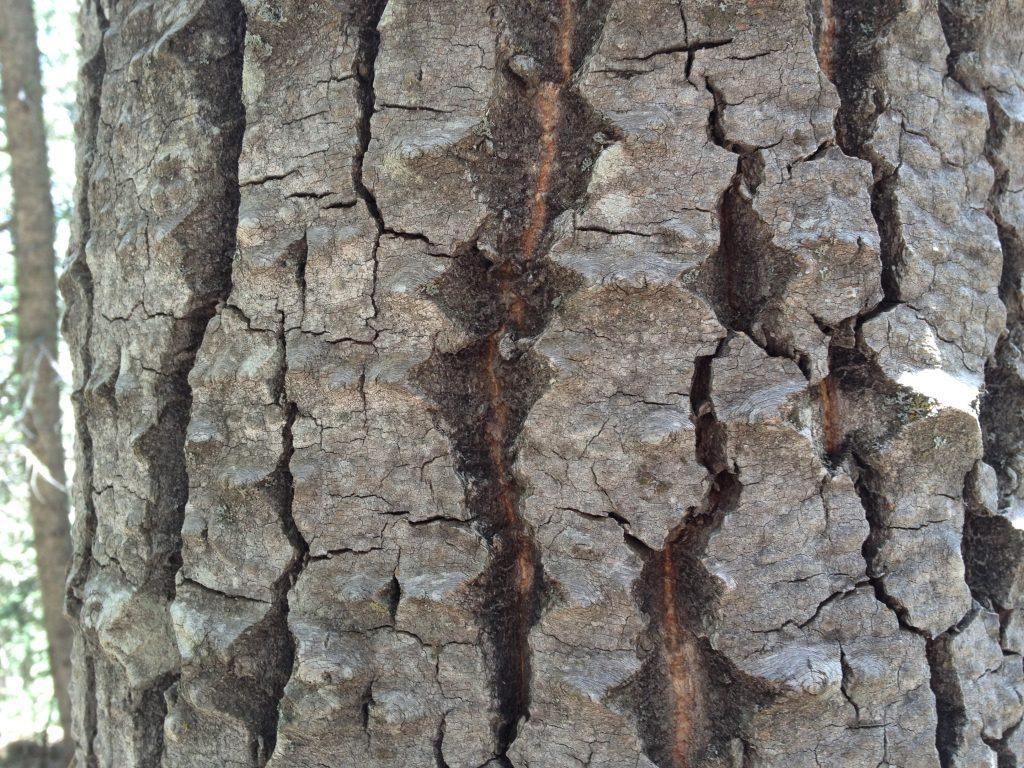 Thick gray bark, deeply furrowed