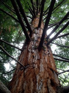 Tall redwood looking up from below