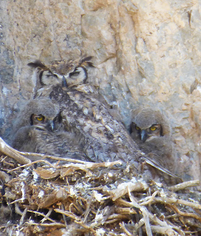 Great horned owl nest perched on a rock face with a dozing adult and two fuzzy wide-eyed baby chicks