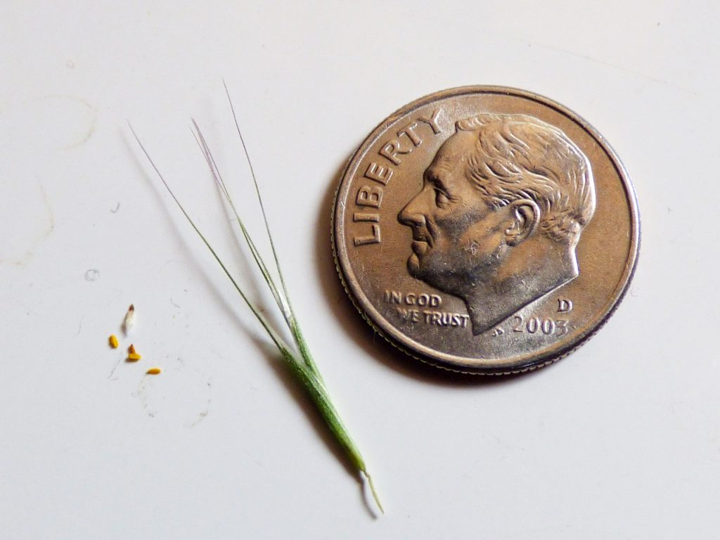 Cheatgrass awn and seeds next to a dime. The awn is a little longer than the dime, and the seeds are tinier than the head of a pin.