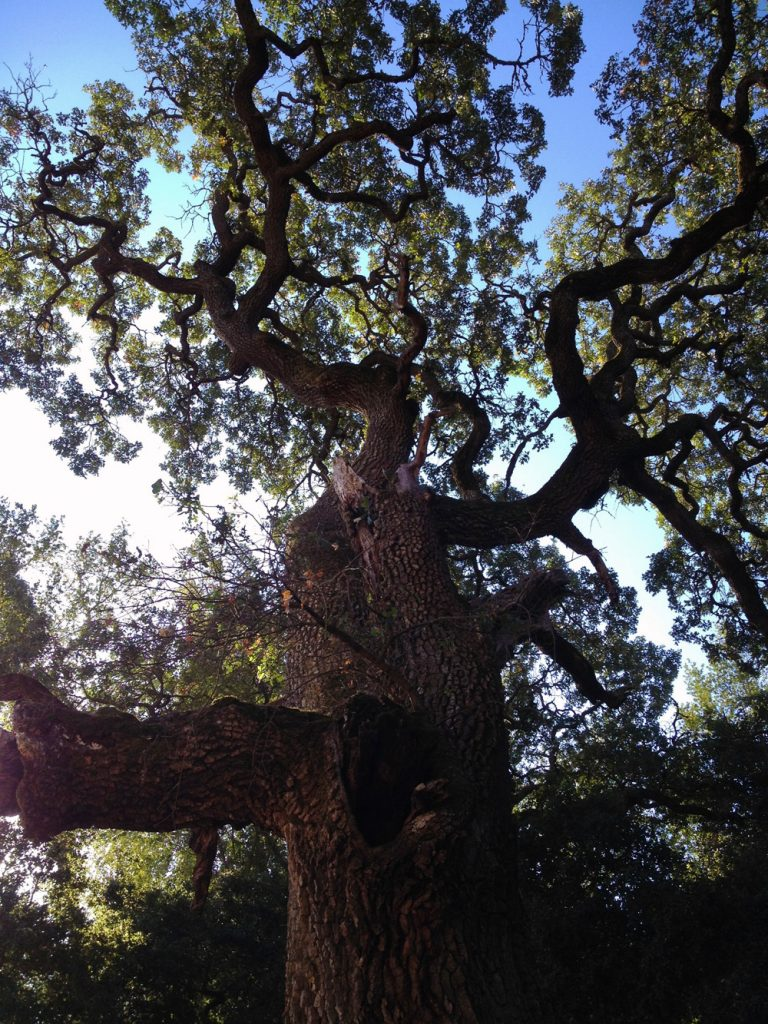 Enormous coast live oak tree viewed from below