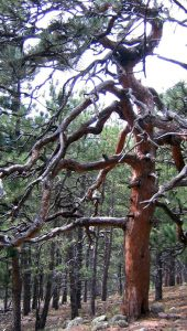 Tall, thick-trunked ponderosa pine with gnarled branches