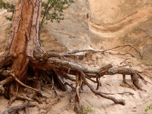 Ponderosa pine roots & trunk growing out of rock wall at Tent Rocks