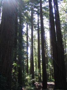Sunlight glinting through redwood forest