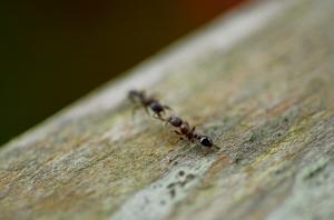 Antz, by mimathology, Flickr, Creative Commons license