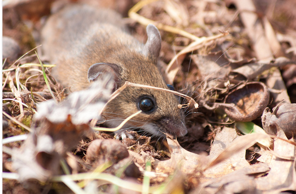 Small brown mouse with bright black eye in brown leaf litter, depending on the mercy of life.