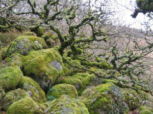 Wistman's_Wood_in_winter