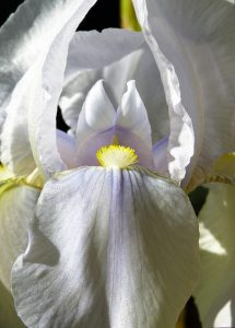 White bearded iris extreme close-up with yellow tufts of stamens and lavender tints on the petals.