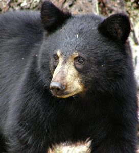 Photo of a black bear, the focus of my new spiritual memoir