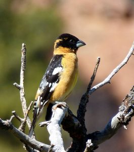 Male black-headed grosbeak perched in top branches