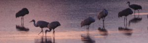 Sandhill crranes roosting on water tinges lavender and pink by sunset.