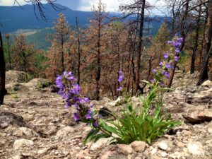 Blue penstemon bursting in the foreground, a year after forest fire,against a backdrop of blackened pine trees