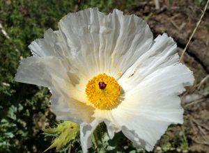 prickly poppy flower