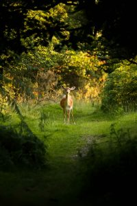 A doe standing alone, facing the camera, in the middle of a green clearing. Shedding possessions can feel vulnerable.