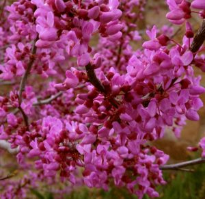 Bring pink blossoms of a redbud tree