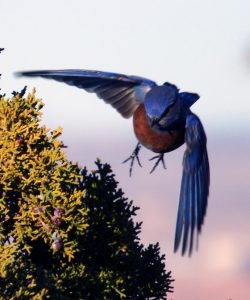 Western bluebird lifting off from juniper bush heading directly into camera, wings spread